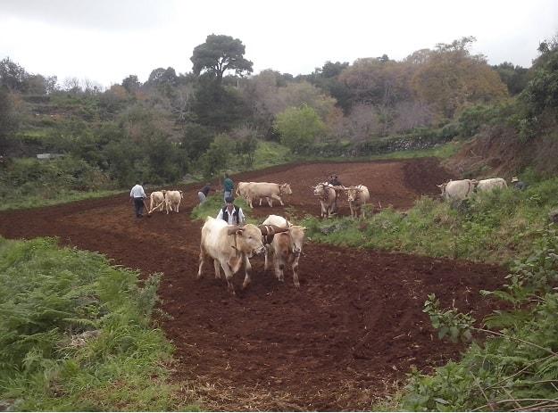 """""""El Frescal"""" Celebra la VIII edición de la siembra de trigo con ganado."""